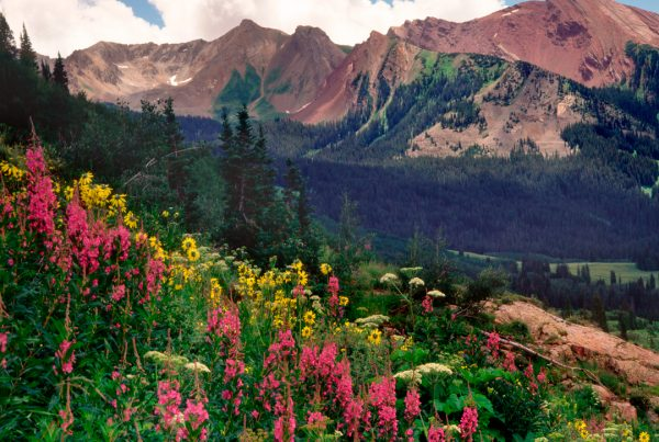 Crested Butte Fireweed
