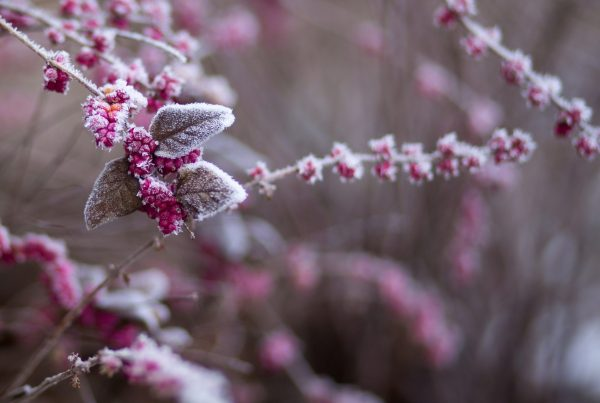 Pink frost-covered flowers